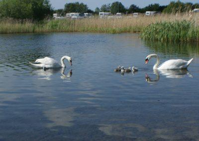 Swans in lake at Dacre Park, Brandesburton